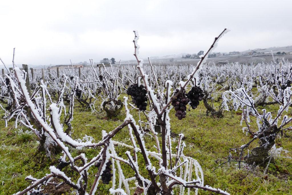 Domaine-des-Marrans-_-vigne-au-vin-hiver-01