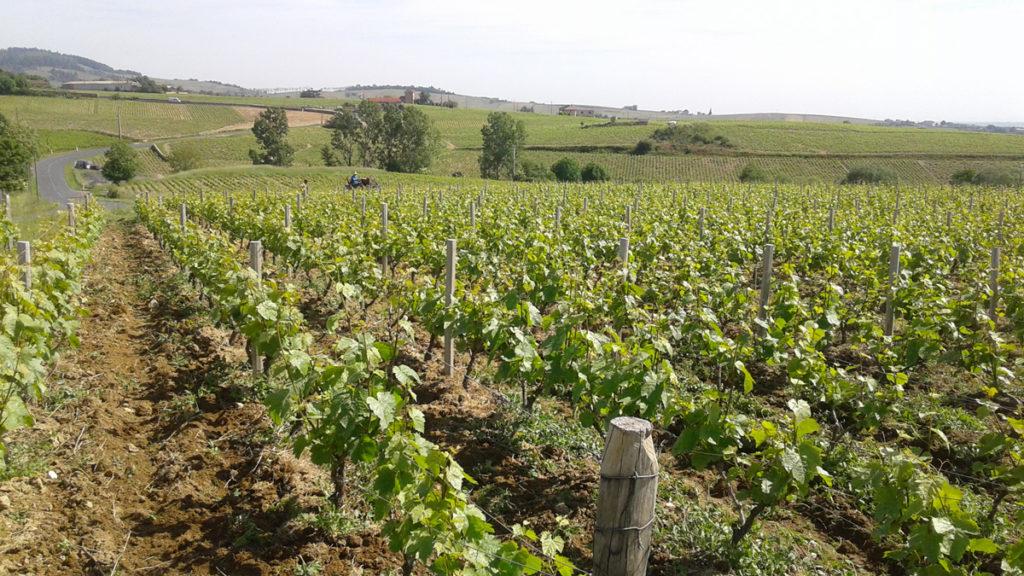 Domaine-des-Marrans-_-vigne-au-vin-printemps-02