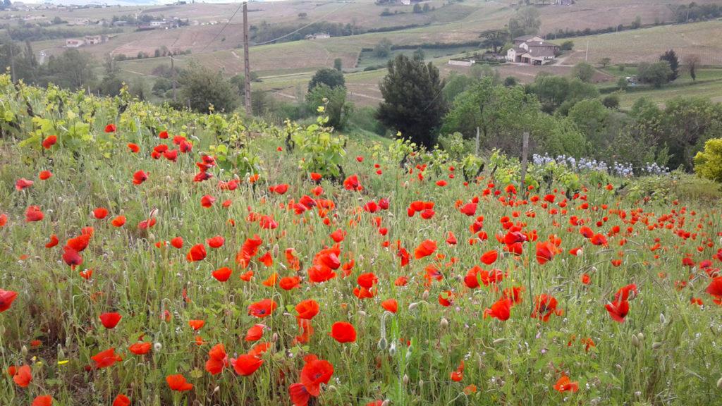 Domaine-des-Marrans-_-vigne-au-vin-printemps-04