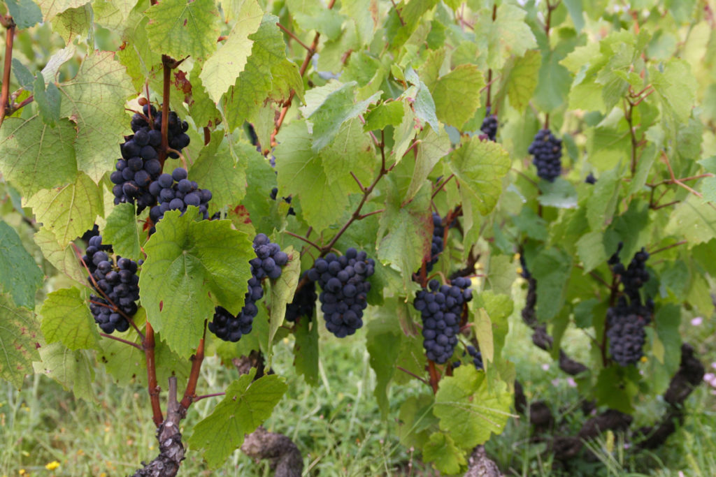 Domaine-des-Marrans-_-vigne-au-vin-recolte-01
