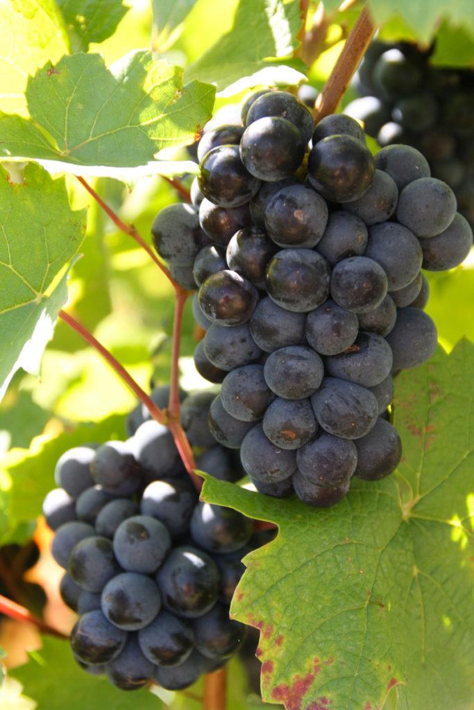 Domaine-des-Marrans-_-vigne-au-vin-recolte-02